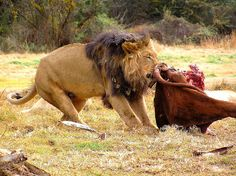 Lion on a Target, South Africa