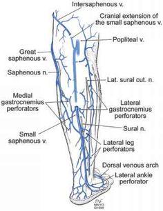 Anatomy Of The Lower Extremity Veins - Varicose Veins Leg Vein Anatomy, Vascular Ultrasound, Ultrasound Technician, Subcutaneous Tissue, Human Body Organs, Anatomy Images, Arteries And Veins, Nursing Notes, Nursing