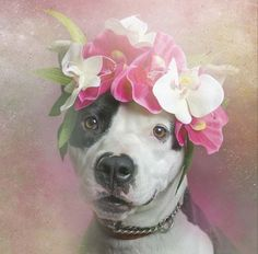 Pit Bulls in Flower Crowns | By Sophie Gamand | Helping raise pit bull awareness