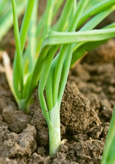 How to grow scallions, also called green onions. Scallions are onions that are pulled early to get a milder flavor than their more mature counterparts.