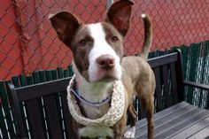 TO BE DESTROYED 05/22/17  A volunteer writes: Our gorgeous Rose with her fabulous ears, amber eyes and lush coat in multi hues of browns and golds is a knockout! Long-legged and elegant, she's happy to make new friends and be out for a walk and a chance to go potty. We're off to the park, Rose's tail wagging as she looks up at every person we pass, wondering if this might be her new person. She has a gorgeous prance, like a high stepping Lipizzaner. Other dogs of all siz...