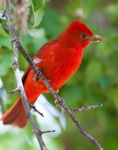 The Summer Tanager (Piranga rubra), is a medium-sized American songbird, now classified in the cardinal family (Cardinalidae).[The species's plumage and vocalizations are similar to other members of the cardinal family