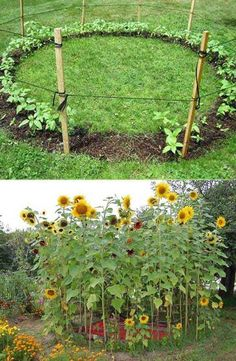 Grow a sunflower house for the kids to play in. #ChairIdeas