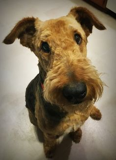 Airedale Love Look!