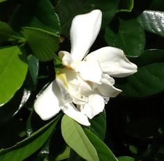 Grew this gardenia from a slip from my sons garden !