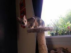 Alienor, femelle, né en octobre 2013 Les Pachas Association Protection féline Rennes (adoption chaton)