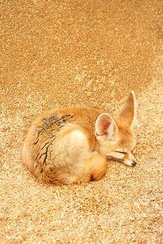 golden fox   fennec fox ○ hanabi. on Flickr.