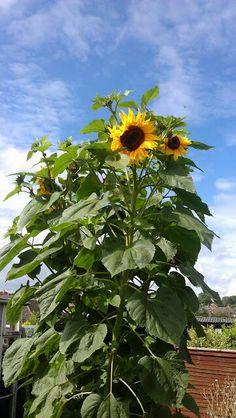 Standing very tall Sunflowers of 2012