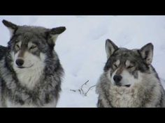 Wolves at The Wild Animal Sanctuary Wild Animal Sanctuary Colorado, Wildlife Photography, Animal Photography, Wild Animal Rescue, Gif Of The Day, Great Videos, Animal Welfare, Animals Beautiful, Animal Pictures
