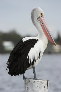Australian Pelican (Pelicanus conspicillatus. The pouched bill of the Australian pelican can be up to 50cm (1.5 feet) long. These massive seabirds use a wingspan topping 2.5 meters (8 feet) to glide gracefully, often for hundreds of miles, using thermal updrafts to gain altitude