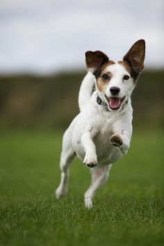 jack russell terrier. This happy face is what I see when I get home every night. :-)