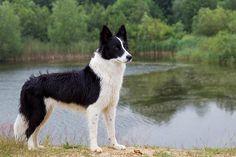 Border Collie, Canis lupus familiaris, Border Collie