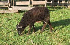 """2015 Unnamed black wether lamb """"B"""" ShepValShet Skye x  ABA Meatball Shetland Sheep for sale"""
