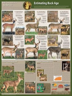 Estimated Buck Ages