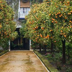 How to Transplant Citrus Trees Orange Trees in a Garden in Sevilla Citrus Garden, Fruit Garden, Garden Trees, Edible Garden, Herbs Garden, Citrus Trees, Fruit Trees, Orange Trees, Orange Farm