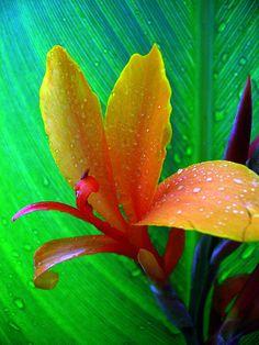 water canna flower