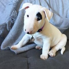 Oh My Goodness!!! So cute I can't take it!! Bull Terrier puppy ~ <3