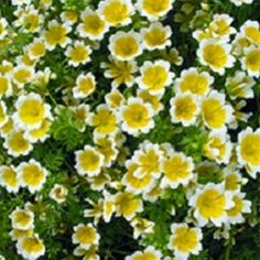 Poached Egg Plant, LIMNANTHES DOUGLASII Creamy white flowers with yellow centre and yellow-green rather succulent leaves. Prolific and fast growing. Will self seed. Height: 15 cm