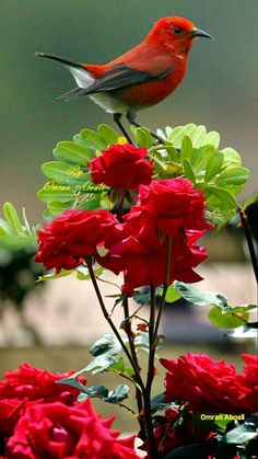 Garden n country is part of Birds - Garden n country likes · talking about this A place to enjoy country and nature Exotic Birds, Colorful Birds, Exotic Flowers, Red Flowers, Bird Pictures, Nature Pictures, All Birds, Pretty Birds, Beautiful Roses