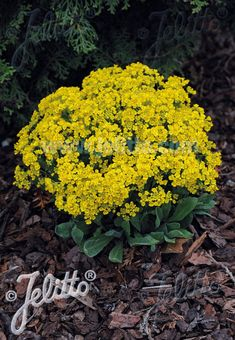 Alyssum saxatile 'Gold Kobold' is a low-growing, evergreen perennial that will charm your garden in the spring with its masses of shining, golden-yellow flowers and again in the fall! Summer Garden, Home And Garden, Downers Grove, Irrigation, Yellow Flowers, Garden Plants, Evergreen, Gardening Tips, Perennials