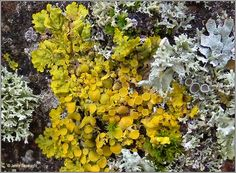 Xanthoria parietina|ireland