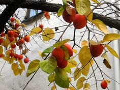Caring for persimmon trees