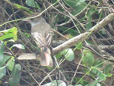 Bird Photos, Birding Sites, Bird Information: BROWN-CRESTED FLYCATCHER, LITTLE TOBAGO ISLAND, TR...