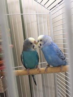 Thanks to Roxanna for sharing this sweet budgie buddy moment. Thanks to Roxanna for sharing this sweet budgie buddy moment. Diy Parakeet Cage, Parakeet Care, Parakeet Toys, Parakeet Colors, Blue Parakeet, Pretty Birds, Beautiful Birds, Bird Gif, Funny Birds