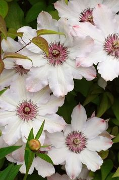 Snow queen clematis - the centers would work nicely paired with burgundy flowers and coordinates nicely with mauve