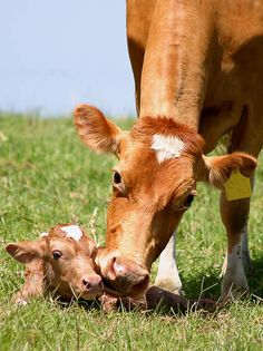 Guernsey dairy cow and young calf. I love cows!
