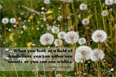 Image result for dandelion field of weeds or wishes