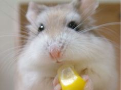 507ae1a7ef8 About Winter White Hamster  Types (Syrian Hamster