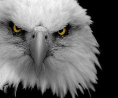 Eagle close-up. Such majestic and beautiful birds