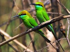Green Birds - birds, picture, beautiful, green    animals.desktopnexus.com