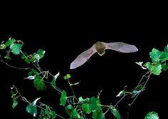 Common pipistrelle bat in flight. Photo from (c) Hugh Clark, Bat Conservation Trust