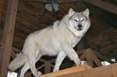 Predator Taxidermy, Lifesize Wolf Mount