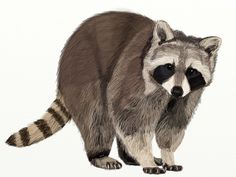Here's the easy steps of drawing a raccoon. Learn how to draw a raccoon with these step-by-step drawing instructions. Raccoon Drawing, Raccoon Tattoo, Raccoon Craft, Baby Raccoon, Forest Animals, Woodland Animals, Anime Animals, Cute Animals, Draw Animals