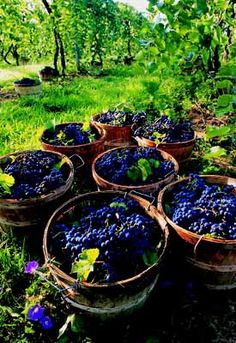 Grapes ready for wine making! Wine Vineyards, Vides, Growing Grapes, Mabon, Wine Cheese, Nurses Week, Harvest Time, Wine Time, Wine And Spirits