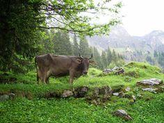 Cow, Adelboden, Schwitzerland