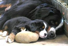 Beautiful mom and baby - Bernese Mountain Dogs Puppies And Kitties, Cute Puppies, Cute Dogs, Doggies, Big Dogs, I Love Dogs, Bermese Mountain Dog, Bernese Puppy, Bernese Mountain Dogs