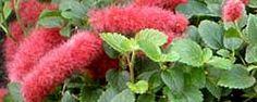 Cuidados de la planta Acalypha, Acalifa, Cola de gato, Felpilla, Cola de zorro, Moco de pavo o Ricinela.