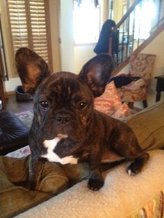 Cappuccino, French bulldog, 7 months