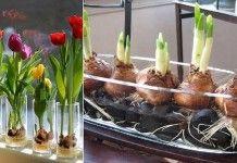 Tajemství jak pěstovat tulipány doma na parapetu! Je to snadné!