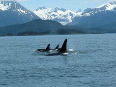 Juneau Alaska - Humpbacks bubble netting!
