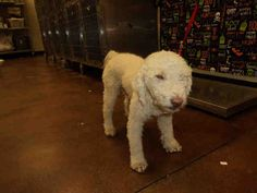 -ID#A1097886  I am a male, white Poodle - Miniature mix.  The shelter staff think I am about 1 year old.  I have been at the shelter since Sep 30, 2014.  For more information about this animal, call: Riverside County Animal Control - Coachella Shelterat(760) 343-3644 Ask for information about animal ID number ...A1097886