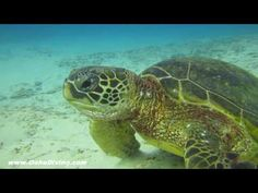 ▶ Hawaii Green Sea Turtle Eating - Cool Video - YouTube
