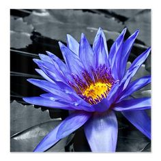 Purple Water Lily Shower Curtain  Tropical Waterlily Nymphaea Director George T Moore, colorkey and painting effect    $45.99