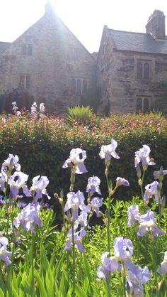 Pale purple iris flowers, Cotehele. RaeBattesonArt