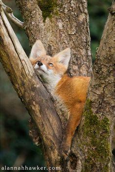 Fox | Vixen | Tod | Renard | лисица | Zorro | 狐 | Sionnach | Volpe | Fox by Alannah Hawker