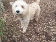 Baylee is an adoptable Poodle Dog in Denton, TX. Lulu was found as a stray in Denton and brought to the shelter. She is a super cute, poodle mix who was absolutely COVERED in fleas and has such bad al...